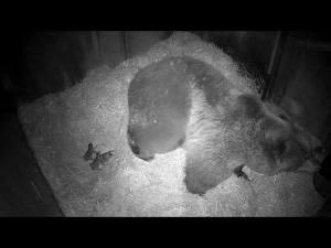 björnungar i ide